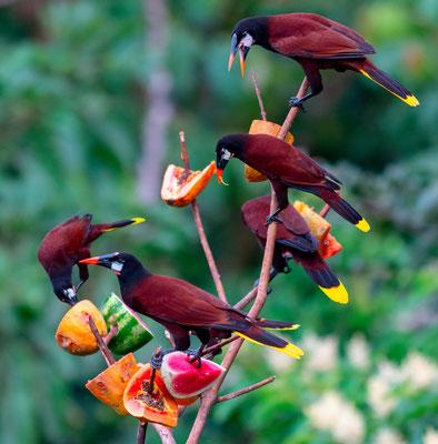 Montezuma Oropendola, Psarocolius montezuma at the hotel's bird feeder
