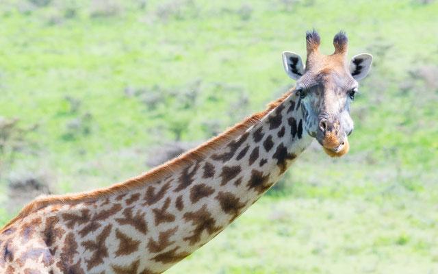 Masai giraffe , Giraffa camelopardalis tippelskirchi