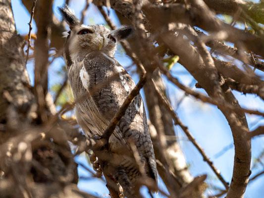 Northern White-faced Owl, Ptilopsis leucotis. Old Simbo Lodge