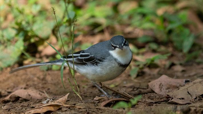 Bergeronnette à longue queue, Motacilla clara. Forêt de Bishangari