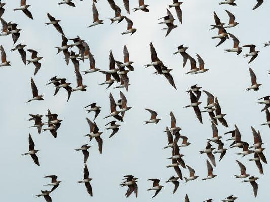Vol de plusieurs centaines de Glaréole à collier, Glareola pratincola