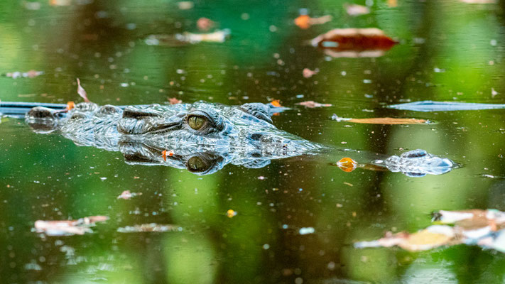 Spectacled caiman, Caiman crocodilus, at the entrance of Puerto Jimenez in a small lagoon.