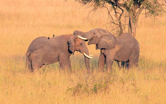 Calins d'éléphants 2