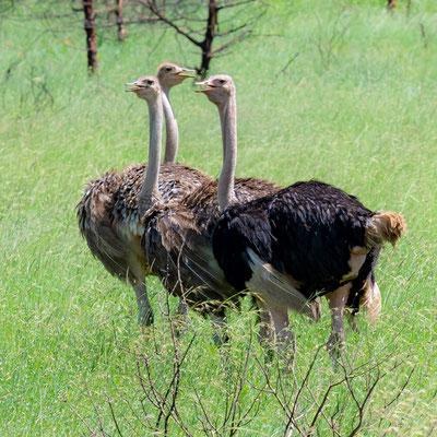 Autruche d'Afrique, Struthio camelus