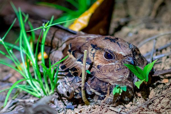 Engoulevent pauraqué, Nyctidromus albicollis. Engoulevent le plus commun du pays, observable dès la tombée de la nuit.