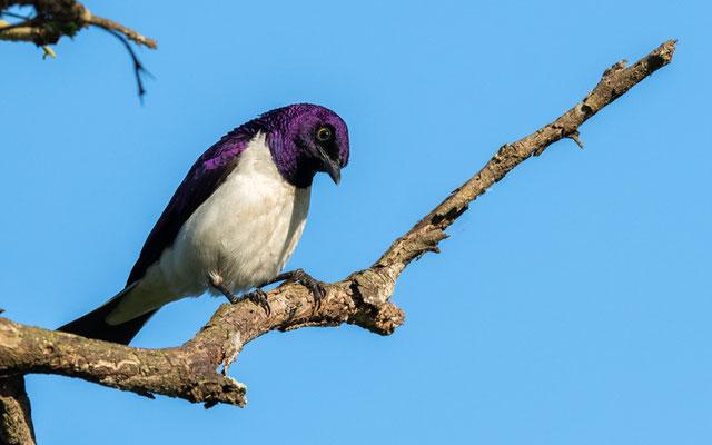 Violet-backed Starling, Cinnyricinclus leucogaster mâle
