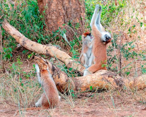 Patas monkey, Erythrocebus patas.Intense grooming.