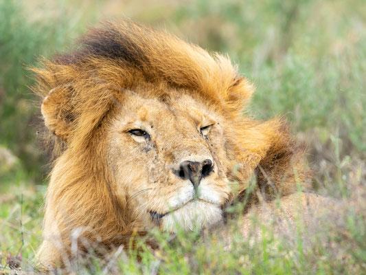 Portrait of a beautiful male Lion, Panthera leo