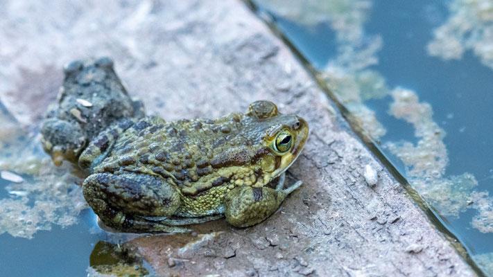 """Anoure indéterminé. Parc national d'Awash dans la """"piscine"""" d'un lodge désafecté"""