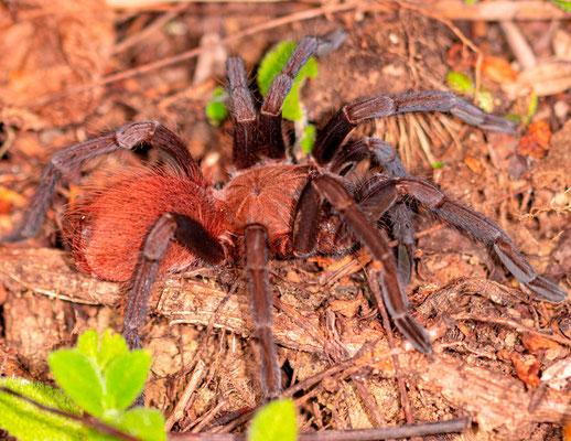 Crypsidromus sp. Araignée de la taille d 'une main sortant de leur terrier la nuit.