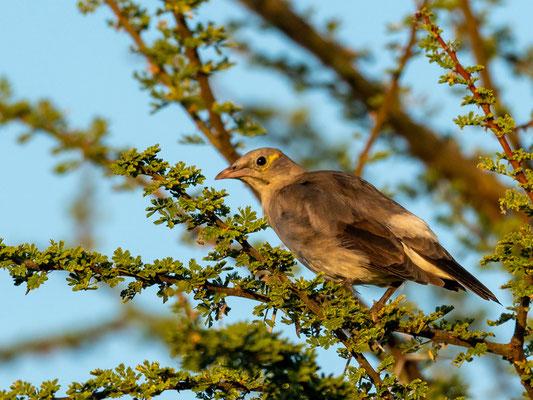 Wattled Starling , Creatophora cinerea. Doho lodge