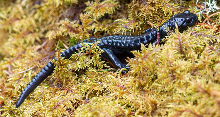 Salamandre noire, Salamandra atra. Kandersteg, Suisse, printemps 2019