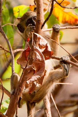Patas,  Erythrocebus patas