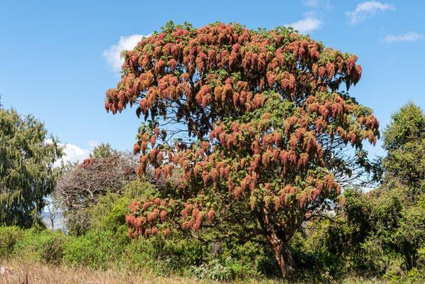 East African Rosewood,Hagenia abysinica