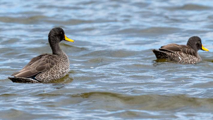 Yellow-billed Duck, Anas undulata