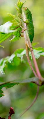 Neotropical green anole, Anolis biporcatus