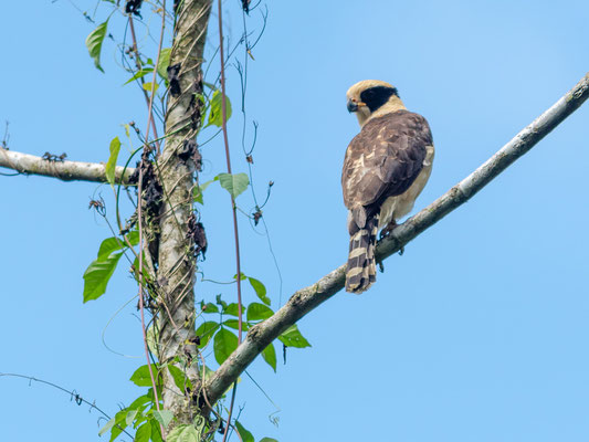 Laughing Falconr, Herpetotheres cachinnans