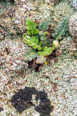 Duo de lichen indéterminé et la fougère  Cétérach officinal (Asplenium ceterach)