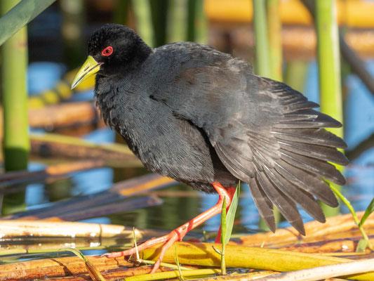 Black Crake, Amaurornis flavirostra