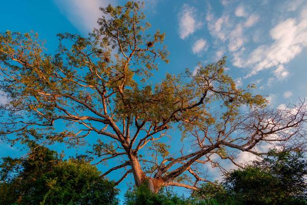 Majestic tree in la Ensenada
