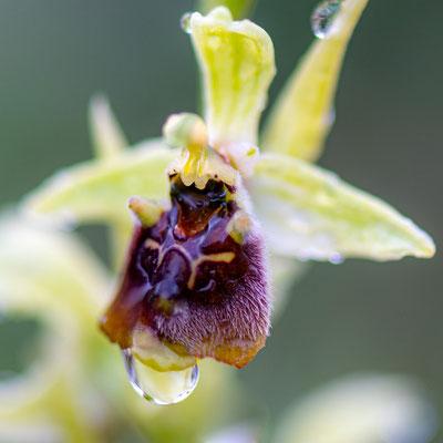 Ophrys fuciflora ssp. bornmuelleri