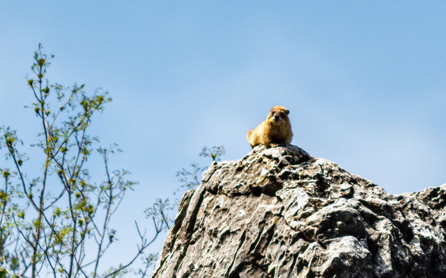 Daman des rochers, Procavia capensis
