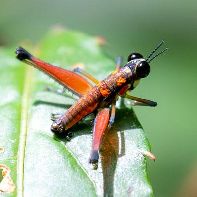 Genre Acanthothericles probablement bicoloripes. Apparemment, cette espèce n'a pas été mentionnée depuis 1939 et est considérée comme éteinte !
