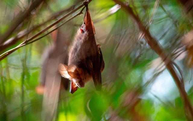 Undefined Bat sleeping on a tree