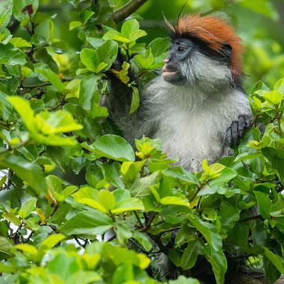 Uzungwa red colobus, Piliocolobus gordonorum, one of the endemic monkeys of this mountain range