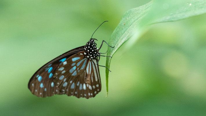 Blue monarch, Tirumala petiverana