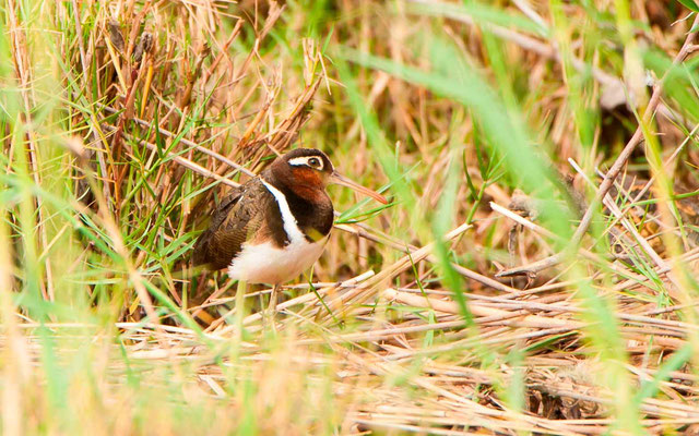 Greater Painted-snipe, Rostratula benghalensis