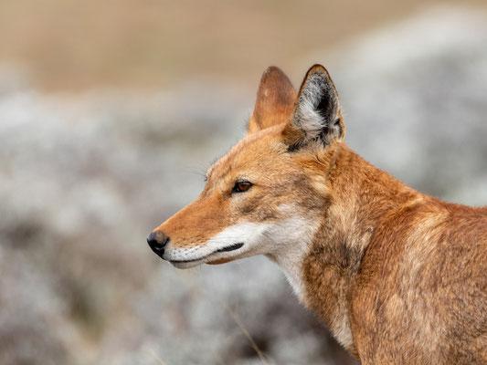 Ethiopian wolf, Canis simensis. Portrait