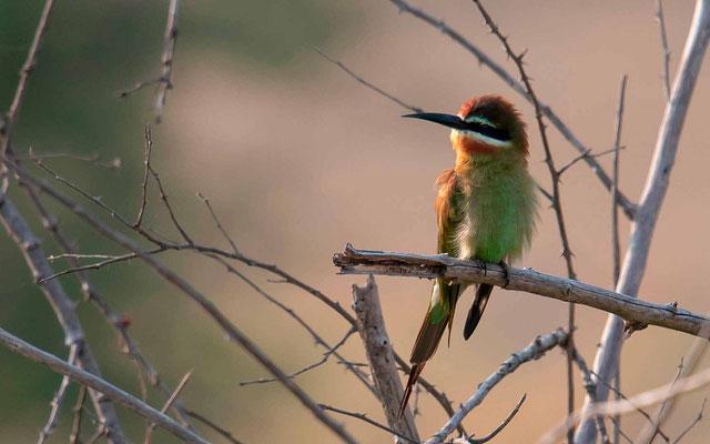 Olive Bee-eater, Merops superciliosus
