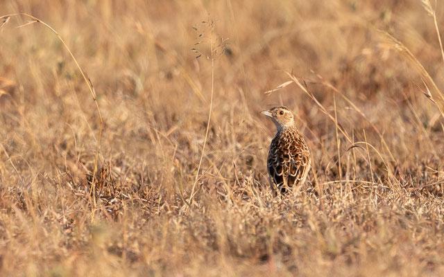 Archer's Lark , Heteromirafra sidamoensis, Lark discovered in 1968