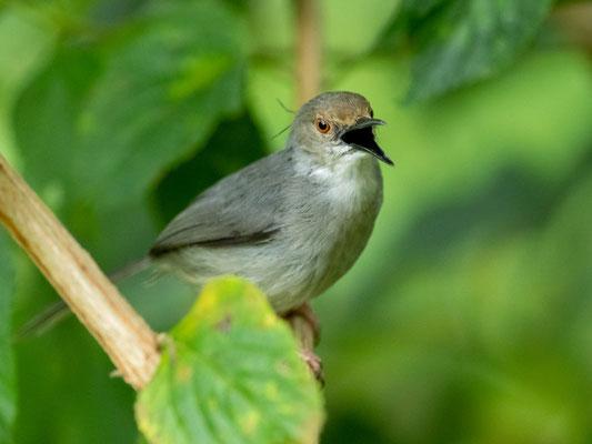 Long-billed Forest Warbler, Artisornis moreaui