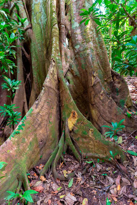 Tree with buttress roots, Carara NP