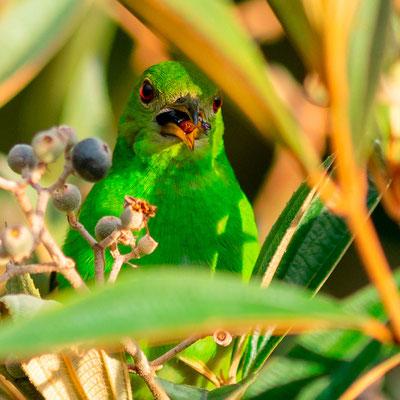 Green Honeycreeper, Chlorophanes spiza, female