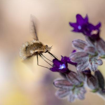 Mouche indeterminée sur fleur indéterminée