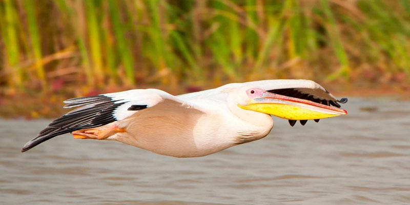 Great White Pelican, Pelicanus onocrotalus