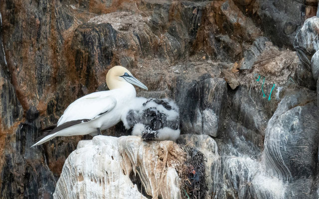 Northern Gannet, Morus bassanus