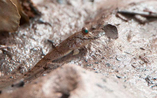Atlantic mudskipper, Periophthalmus barbarus