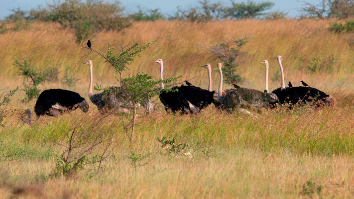 Group of Common Ostrich, Struthio camelus