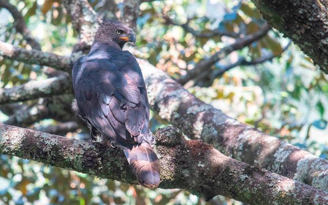 Crowned Eagle, Stephanoaetus coronatus