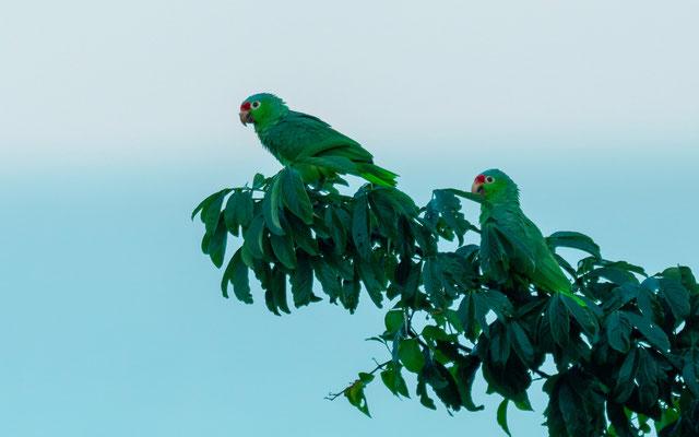 Couple d'Amazone à diadème, Amazona autumnalis. Autour du lodge.