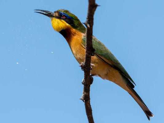 Little Bee-eater, Merops pusillus cyanostictus, enjoying a feast! Hara Lodge