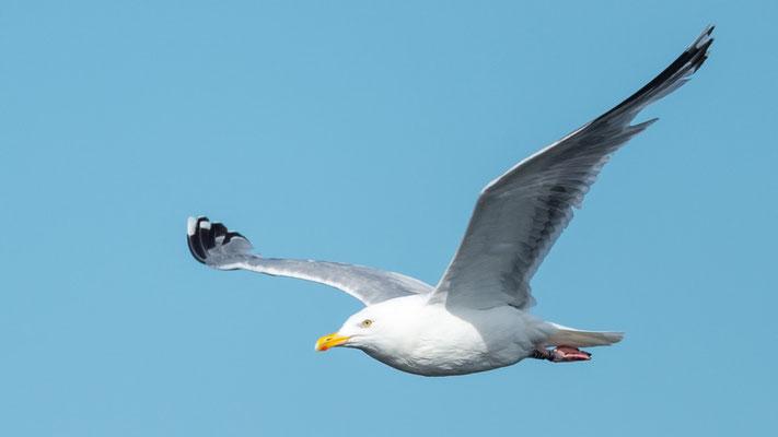 European Herring Gull , Larus argentatus