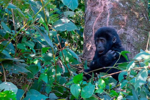 Très jeune gorille