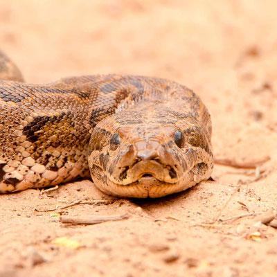 Python de Seba, Python sebae