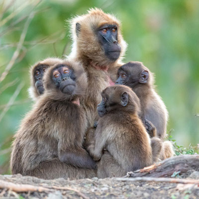 Gelada, Theropithecus gelada, female with her youngs