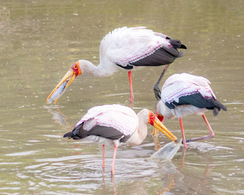 Yellow-billed Stork, Mycteria ibis. Doho lodge